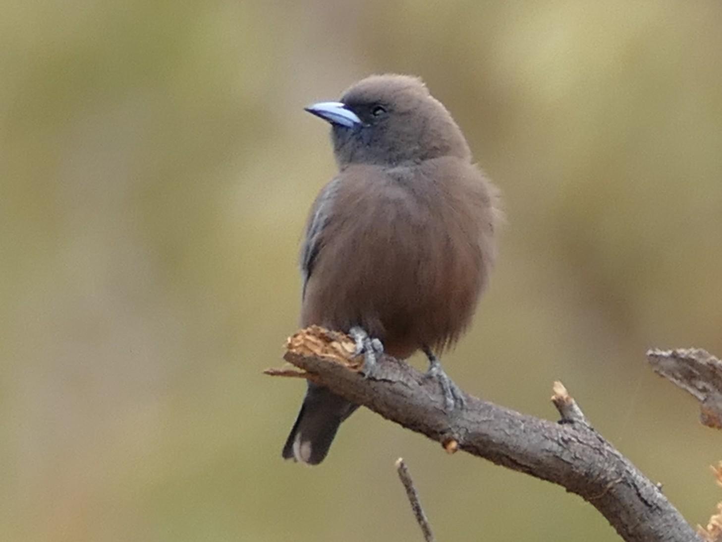 Little Woodswallow - Mark Robbins