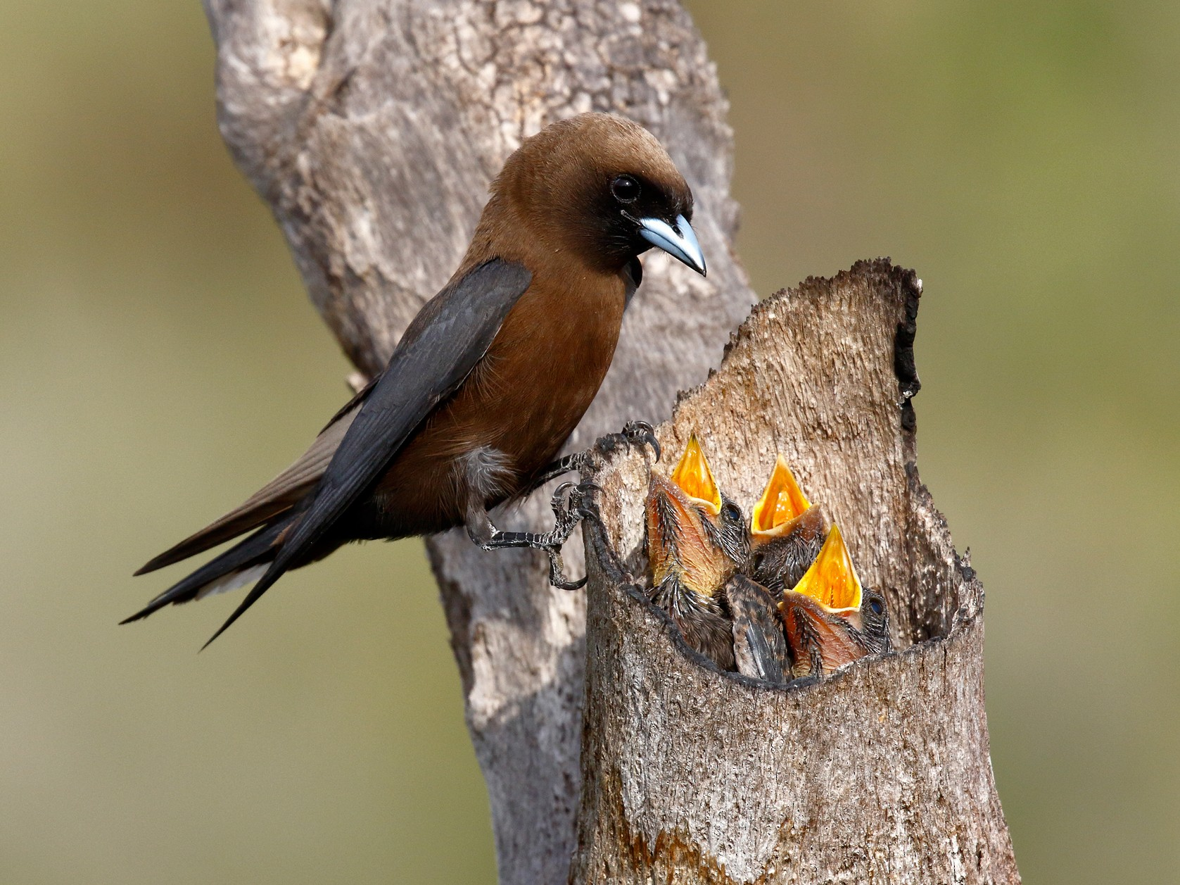 Little Woodswallow - David Webb