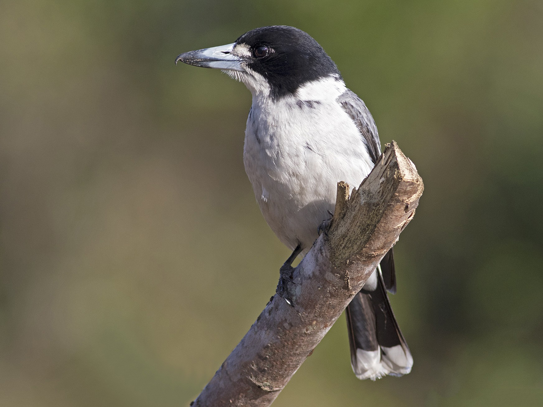 Gray Butcherbird - Stephen Murray