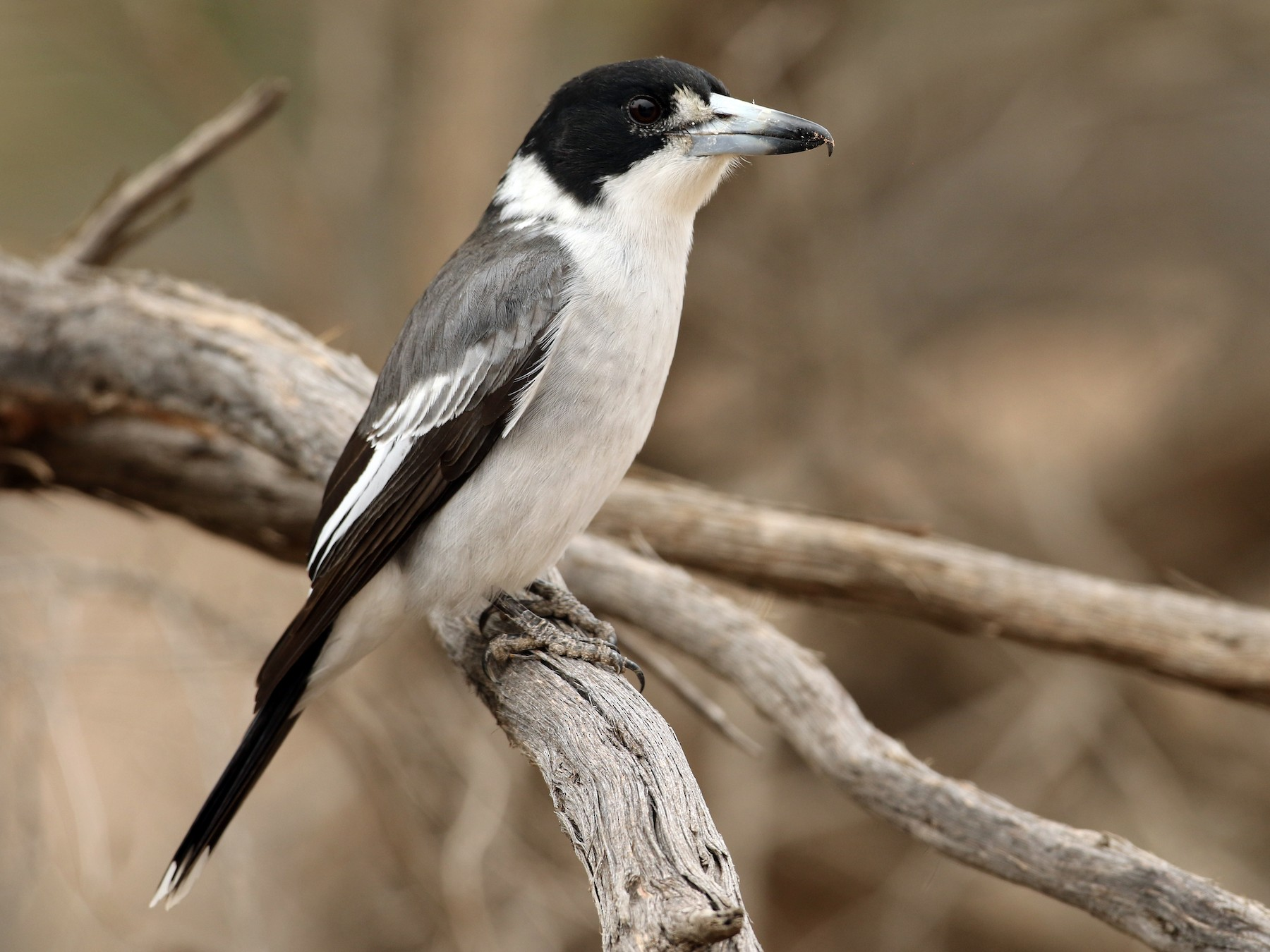 Gray Butcherbird - Luke Seitz