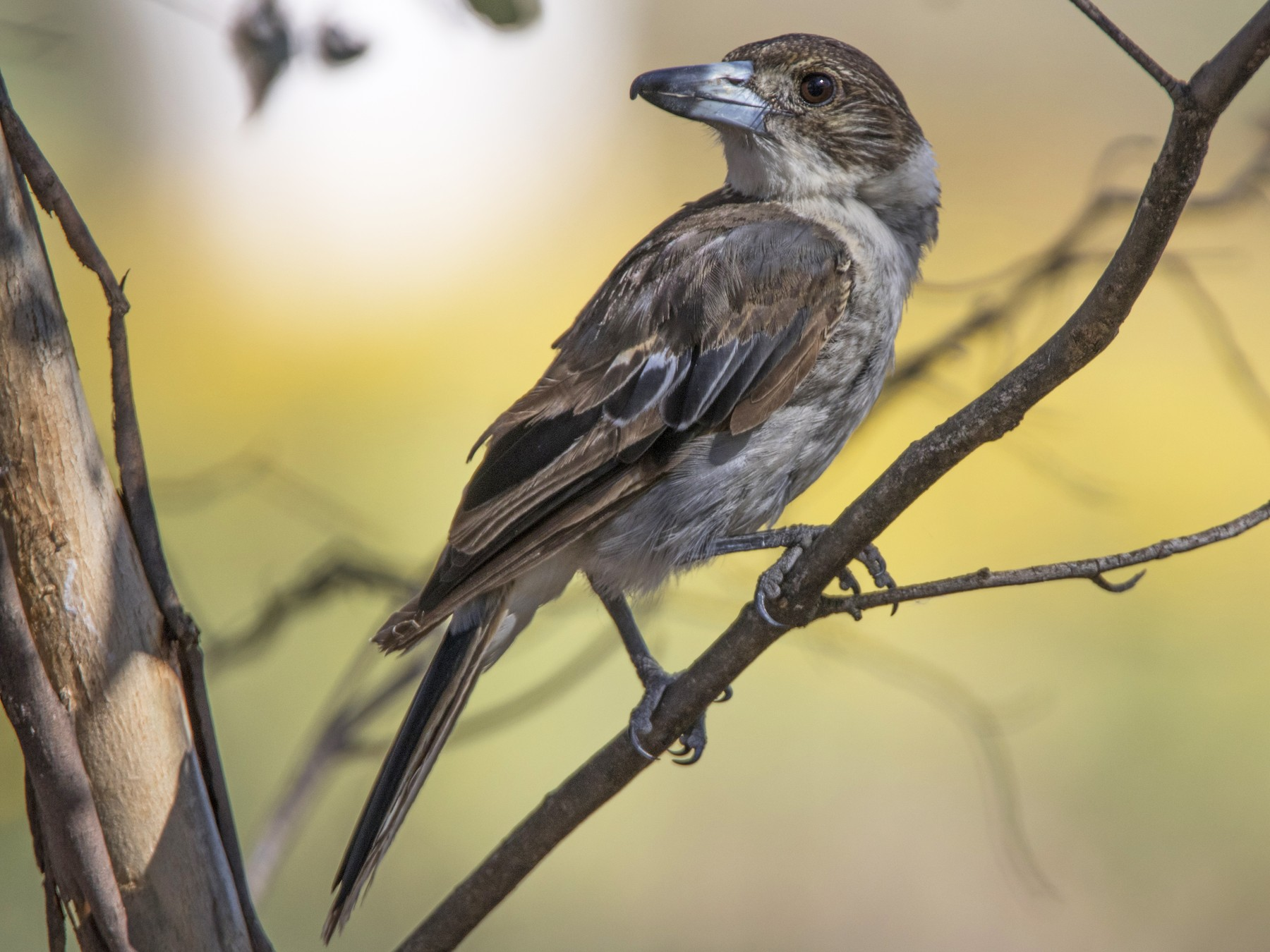 Gray Butcherbird - Warren Rowland