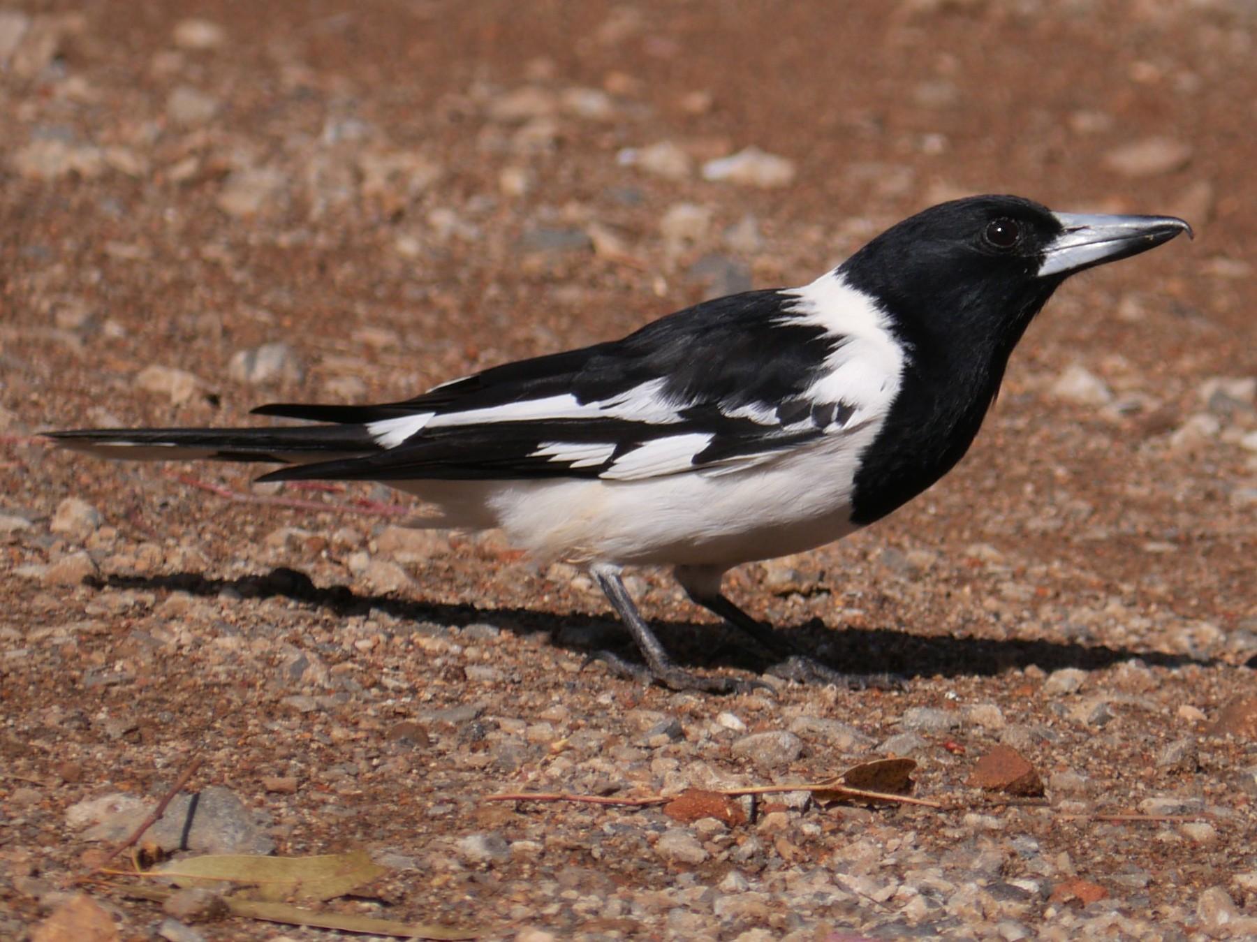 Pied Butcherbird - Frank Coman