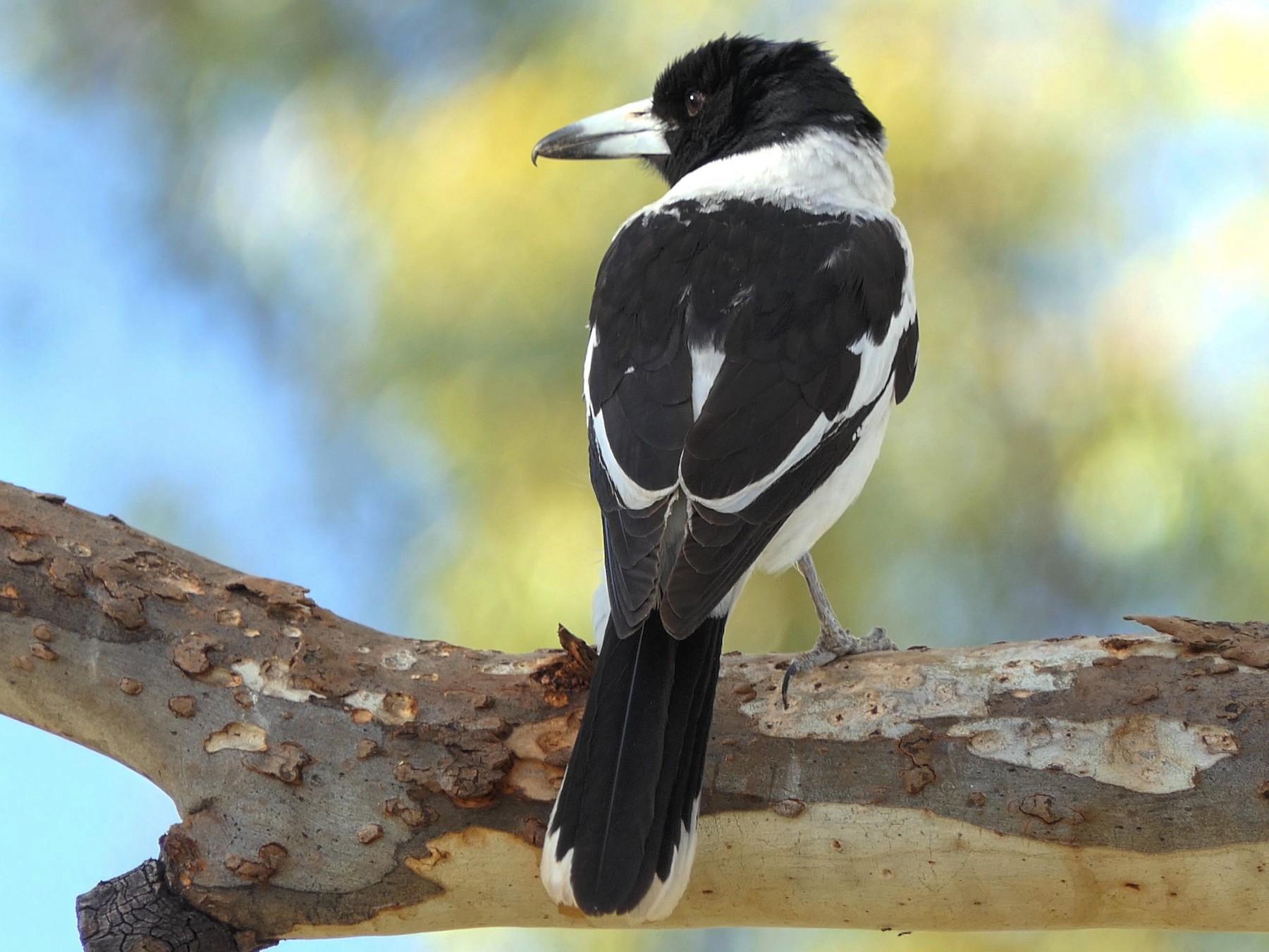 Pied Butcherbird - Randall Siebert