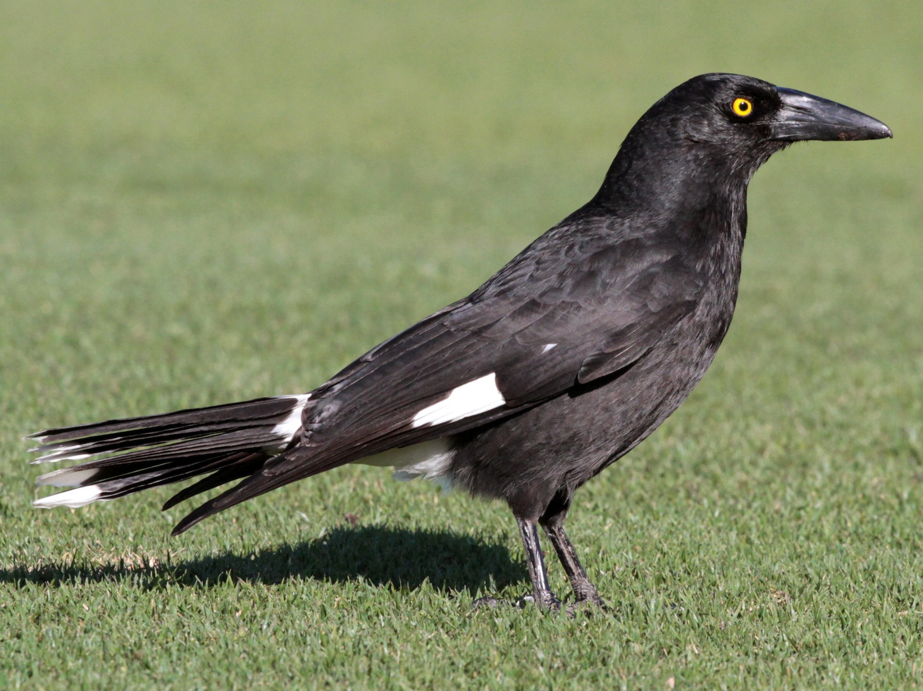Pied Currawong - Corey Callaghan