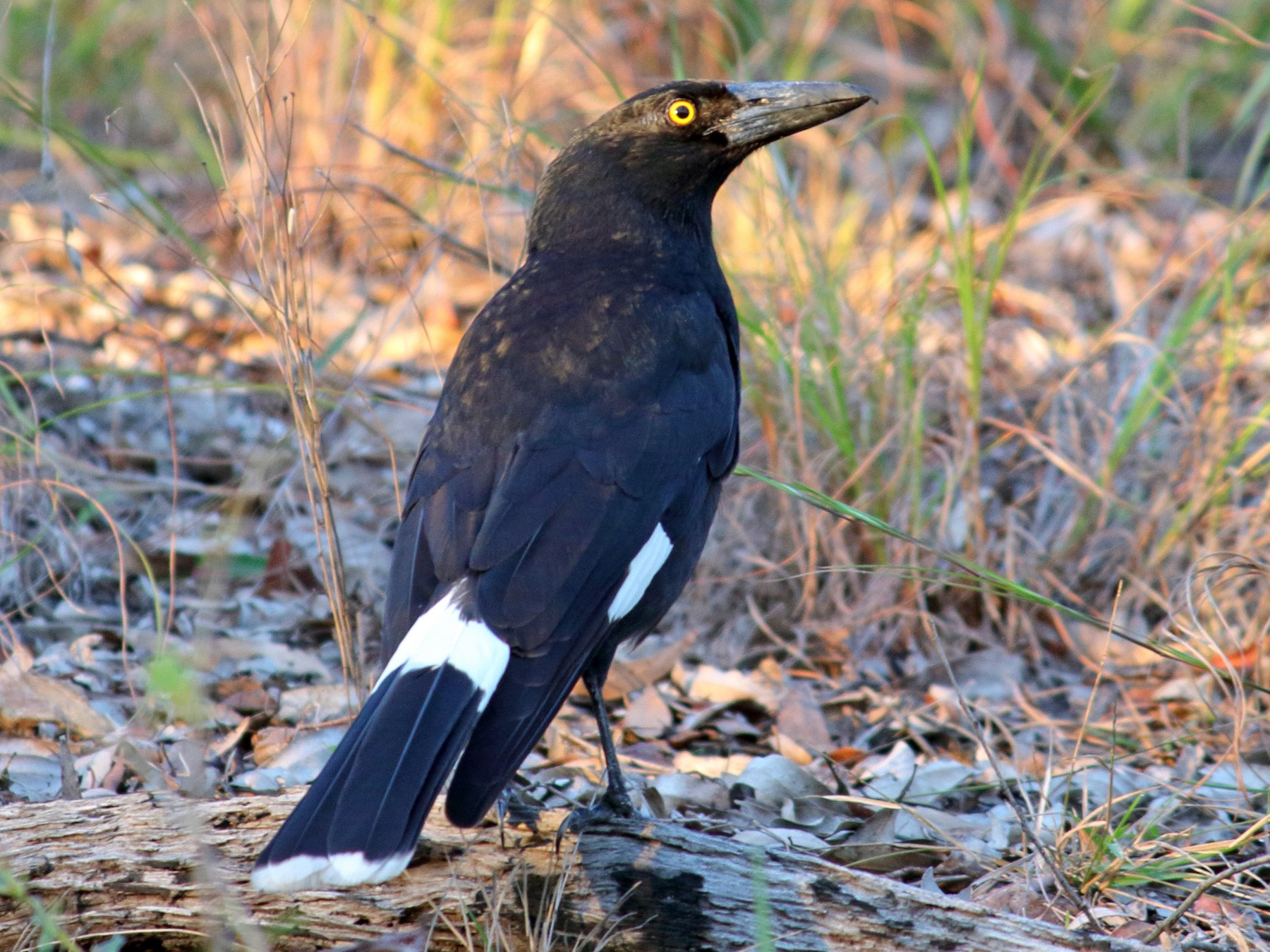 Pied Currawong - Chris Attewell