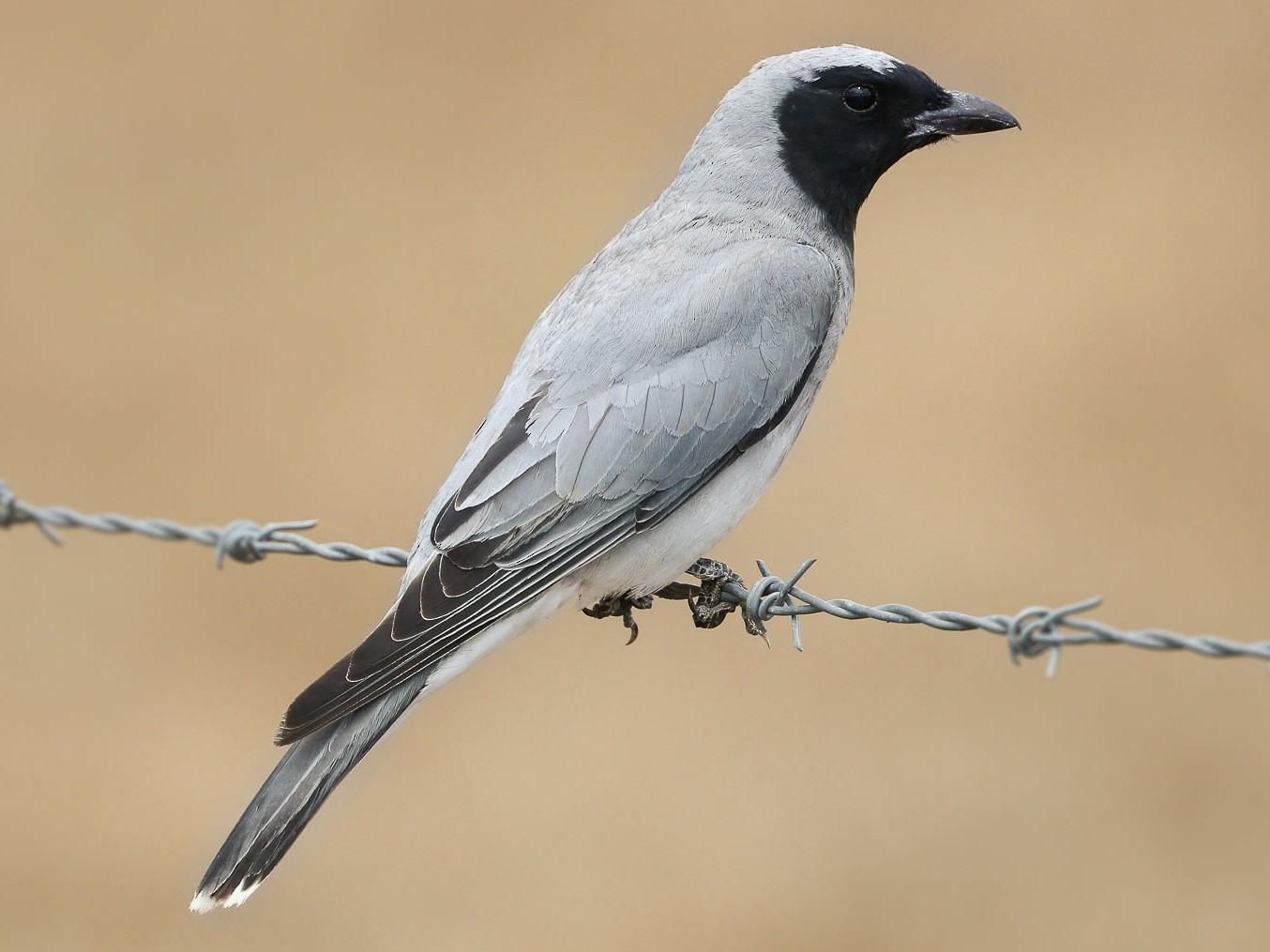 Black-faced Cuckooshrike - Ged Tranter