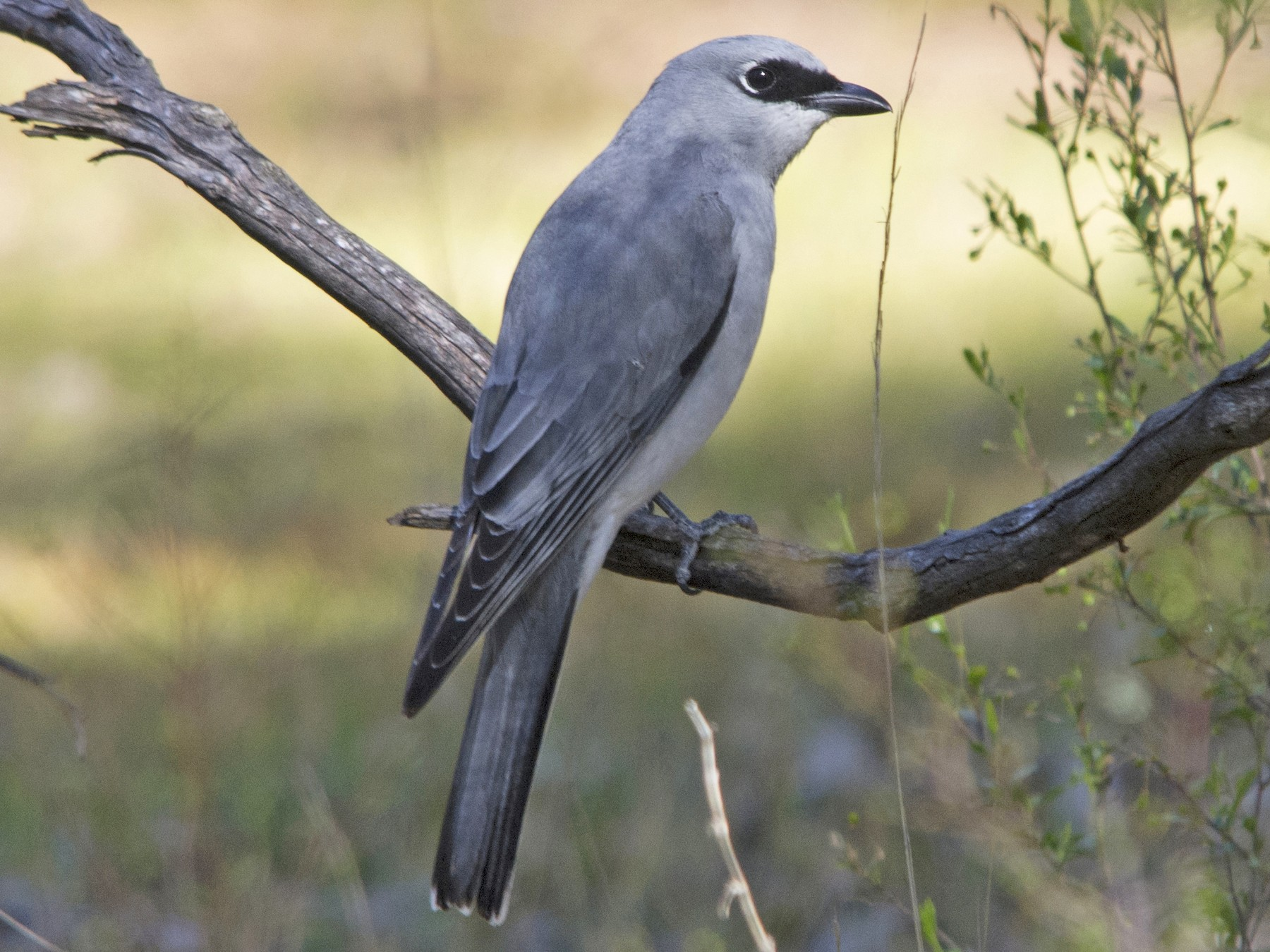 White-bellied Cuckooshrike - Owen Lishmund