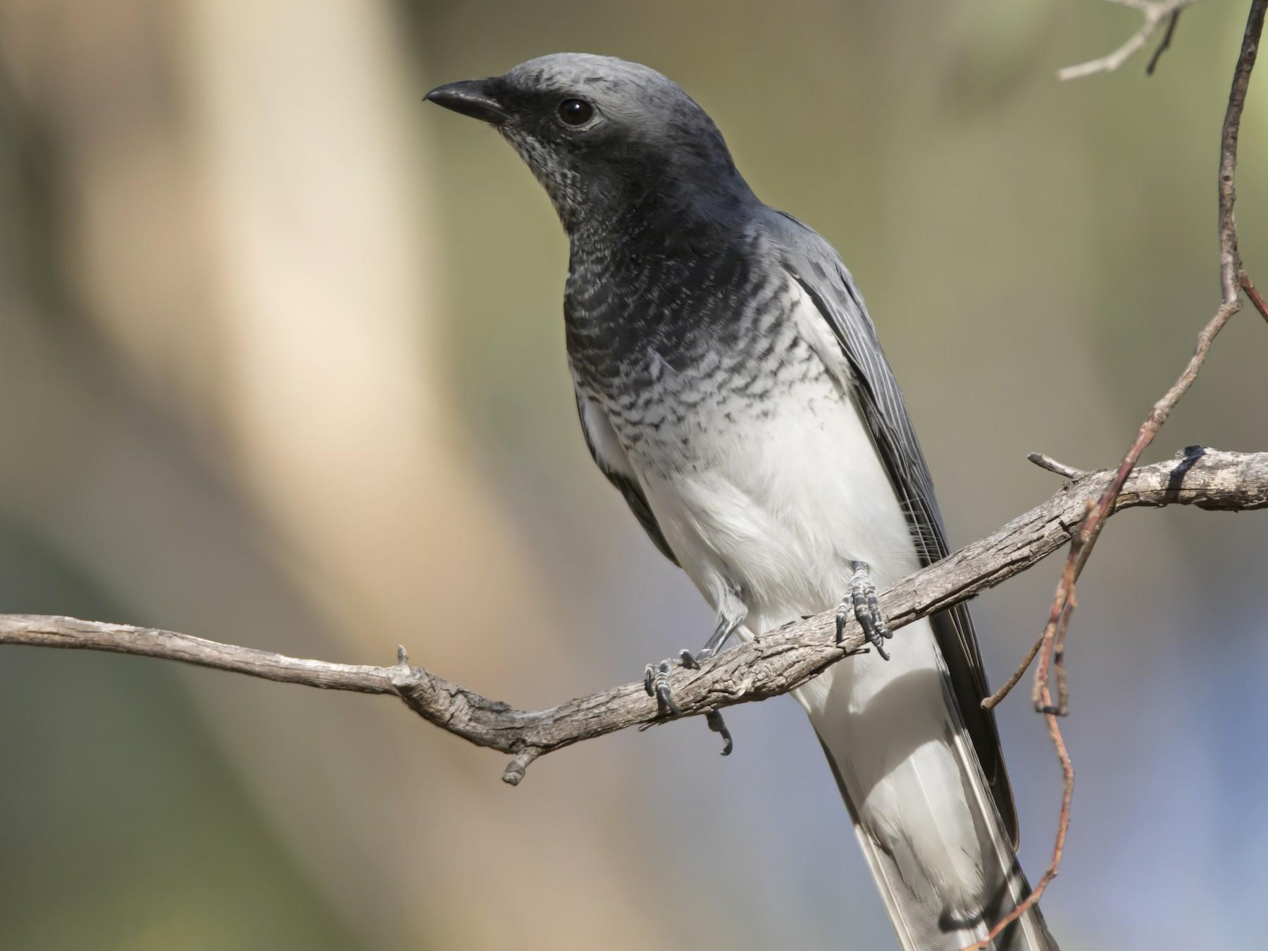 White-bellied Cuckooshrike - John Cantwell