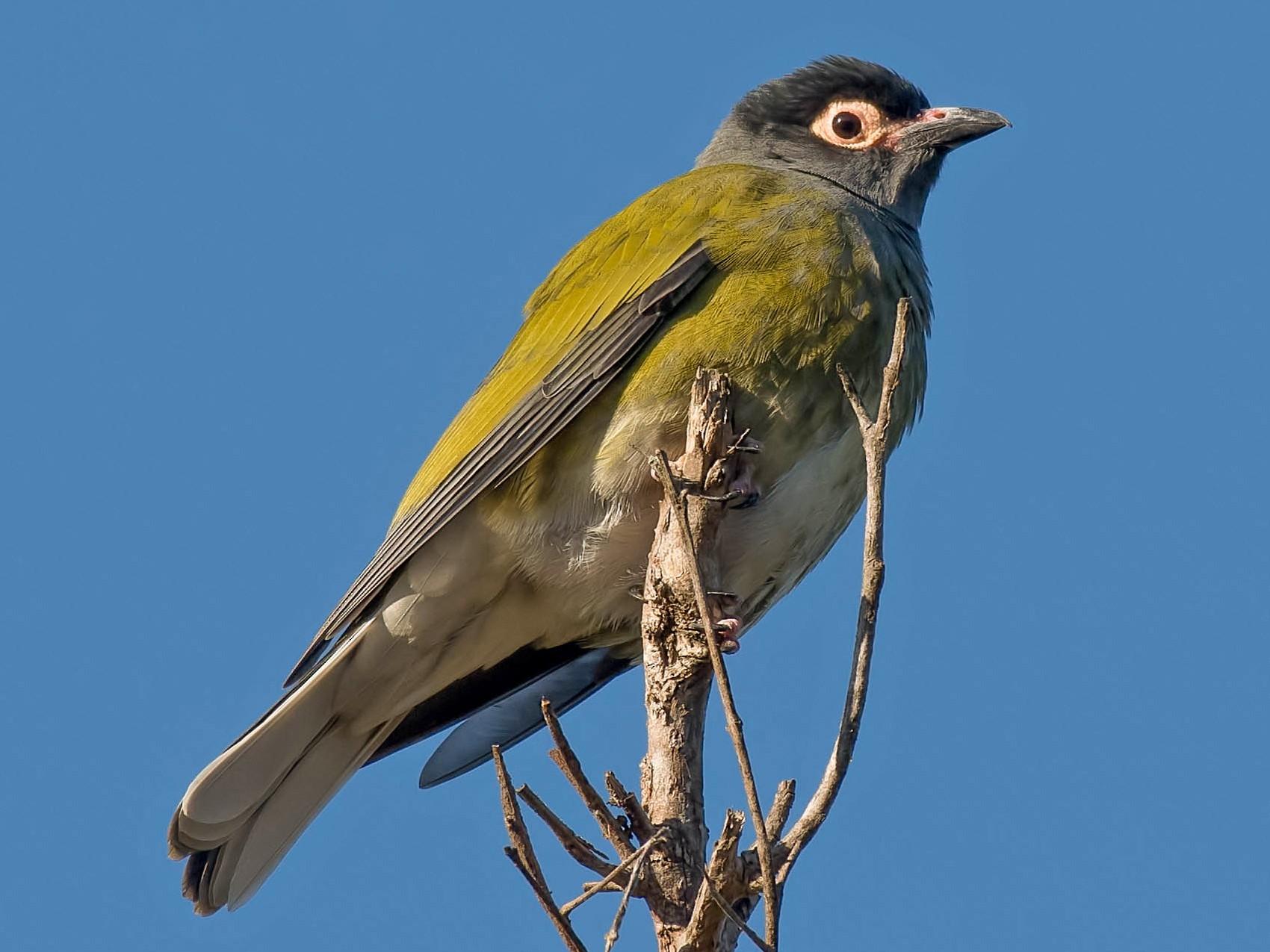 Australasian Figbird - Terence Alexander