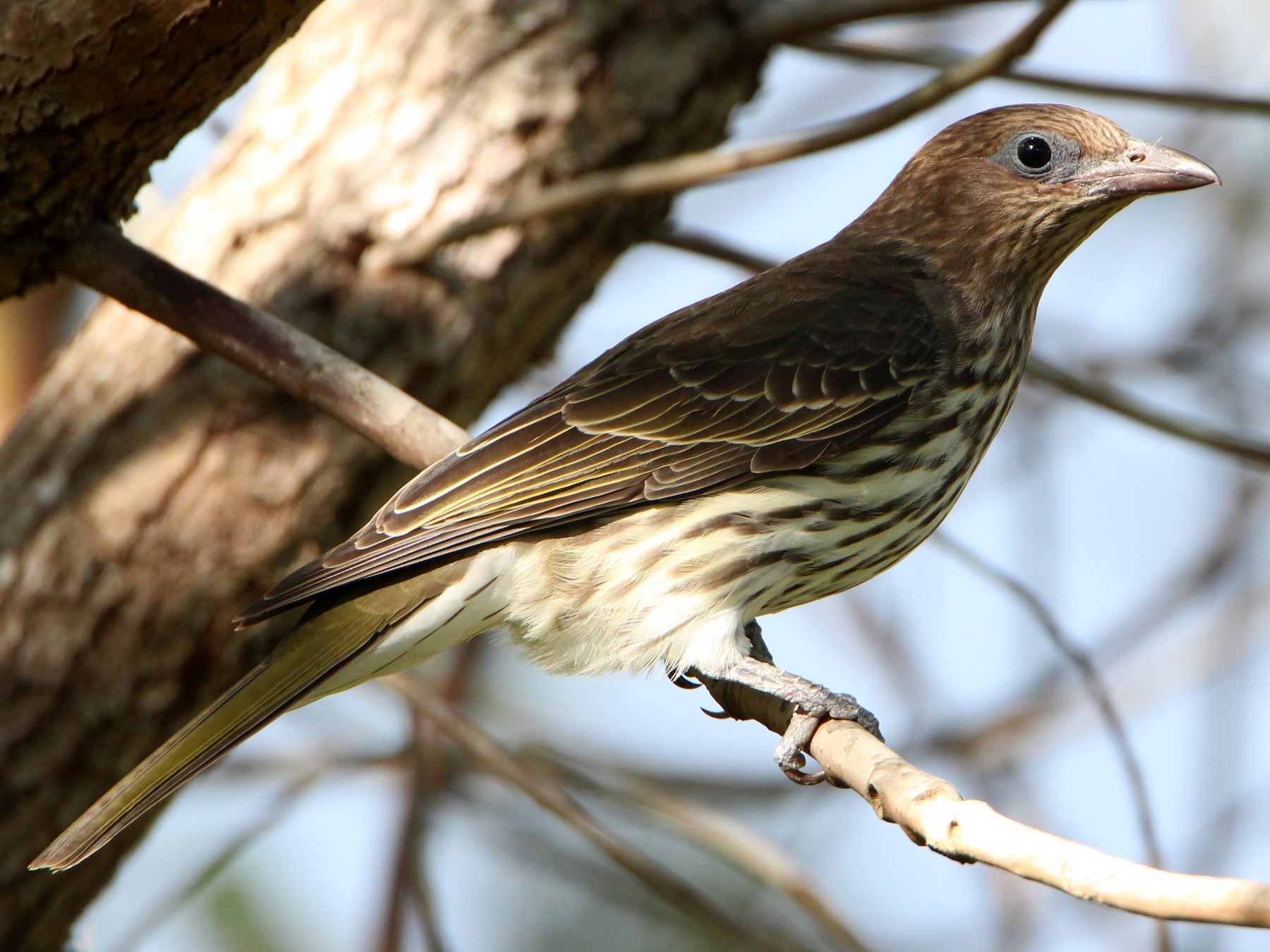 Australasian Figbird - Sandra Gallienne