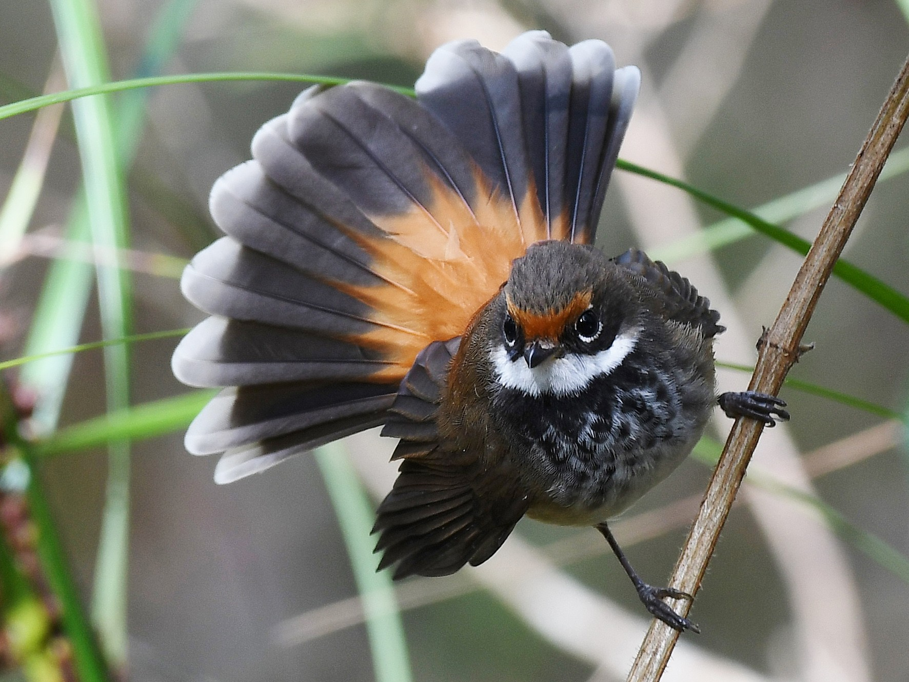 Rufous Fantail - Terence Alexander