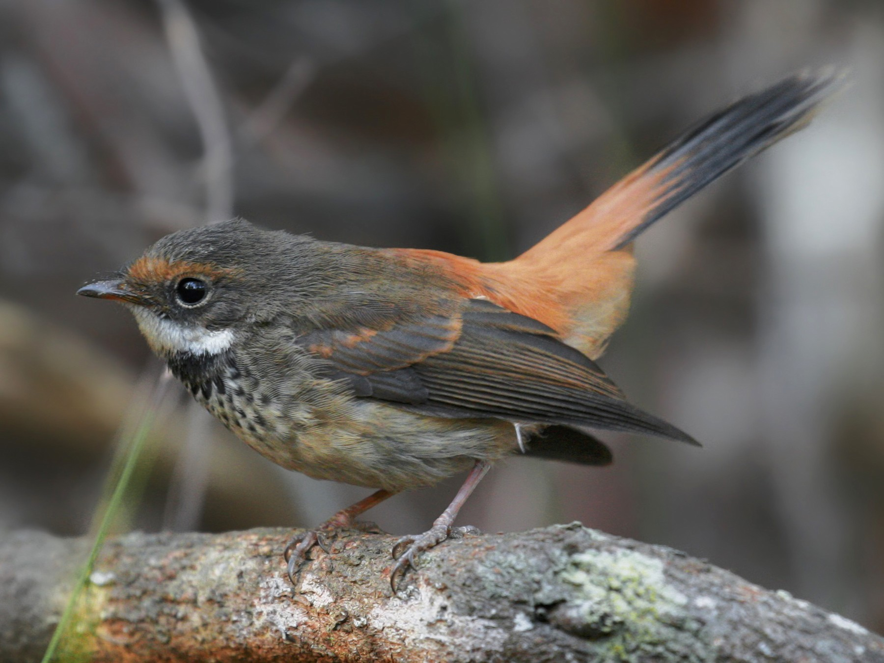 Rufous Fantail - Jesse Gibson
