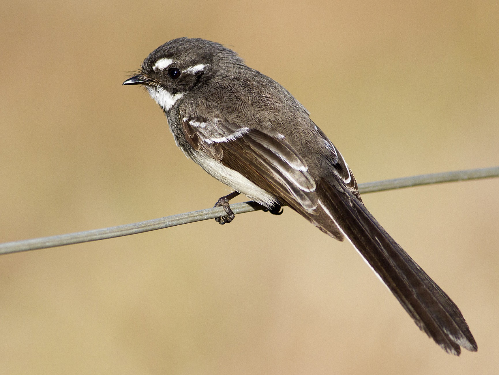 Gray Fantail - Stephen Murray