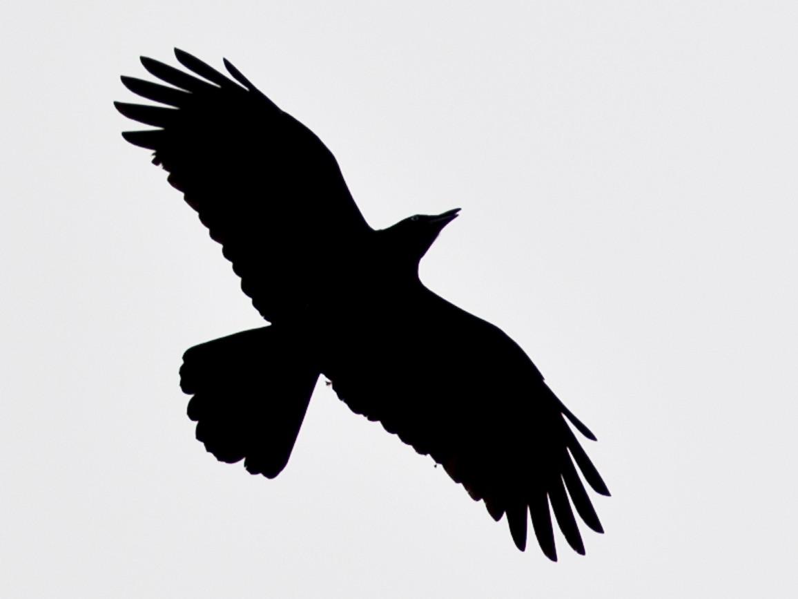 Torresian Crow - Mat Gilfedder