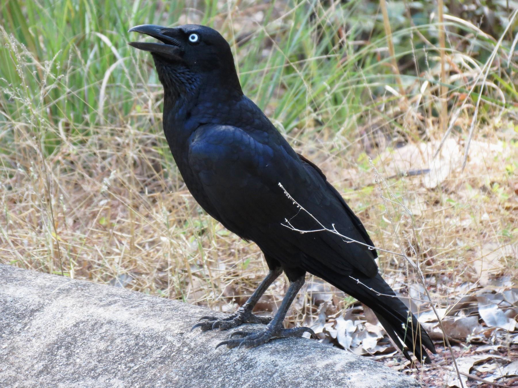 Torresian Crow - Kevin Schwartz