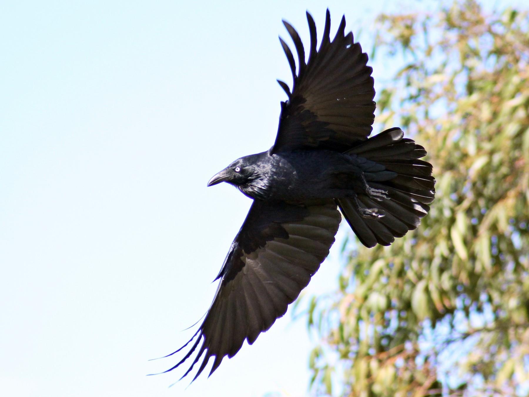 Australian Raven - Kent Warner