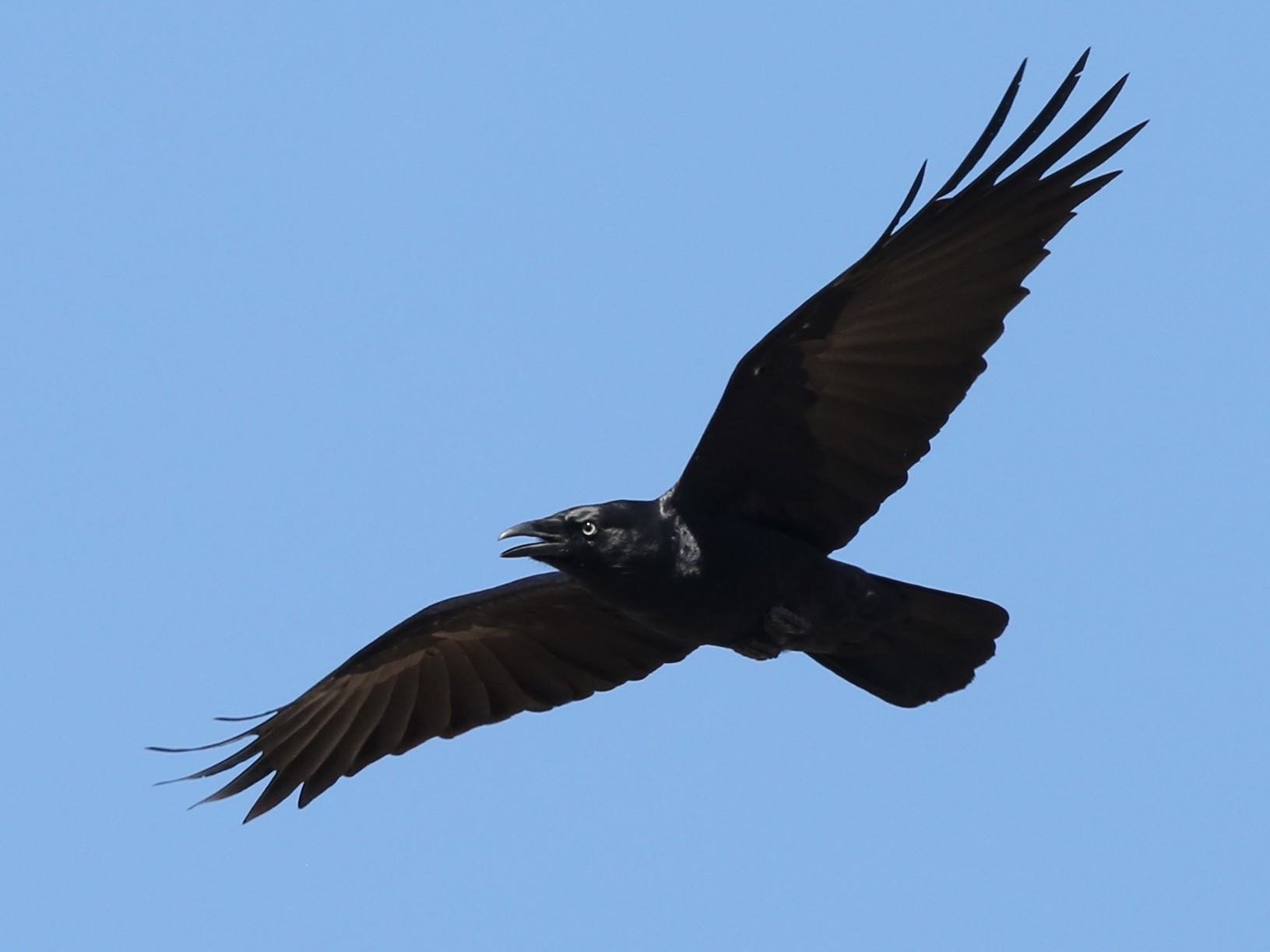 Little Raven - David  Tytherleigh