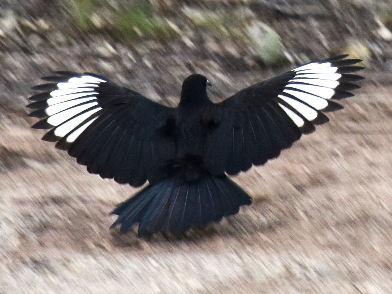 White-winged Chough - David Wheeler