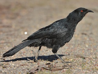 - White-winged Chough