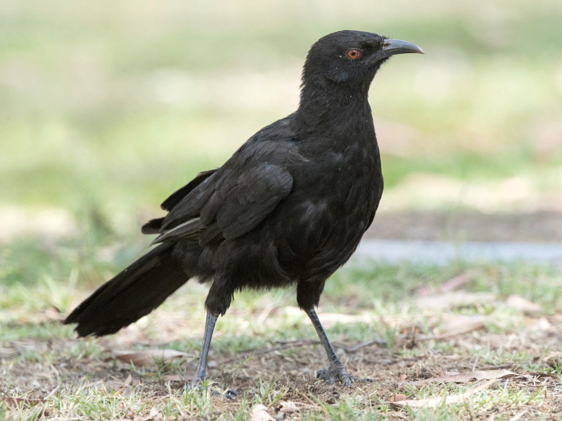 White-winged Chough - David Irving
