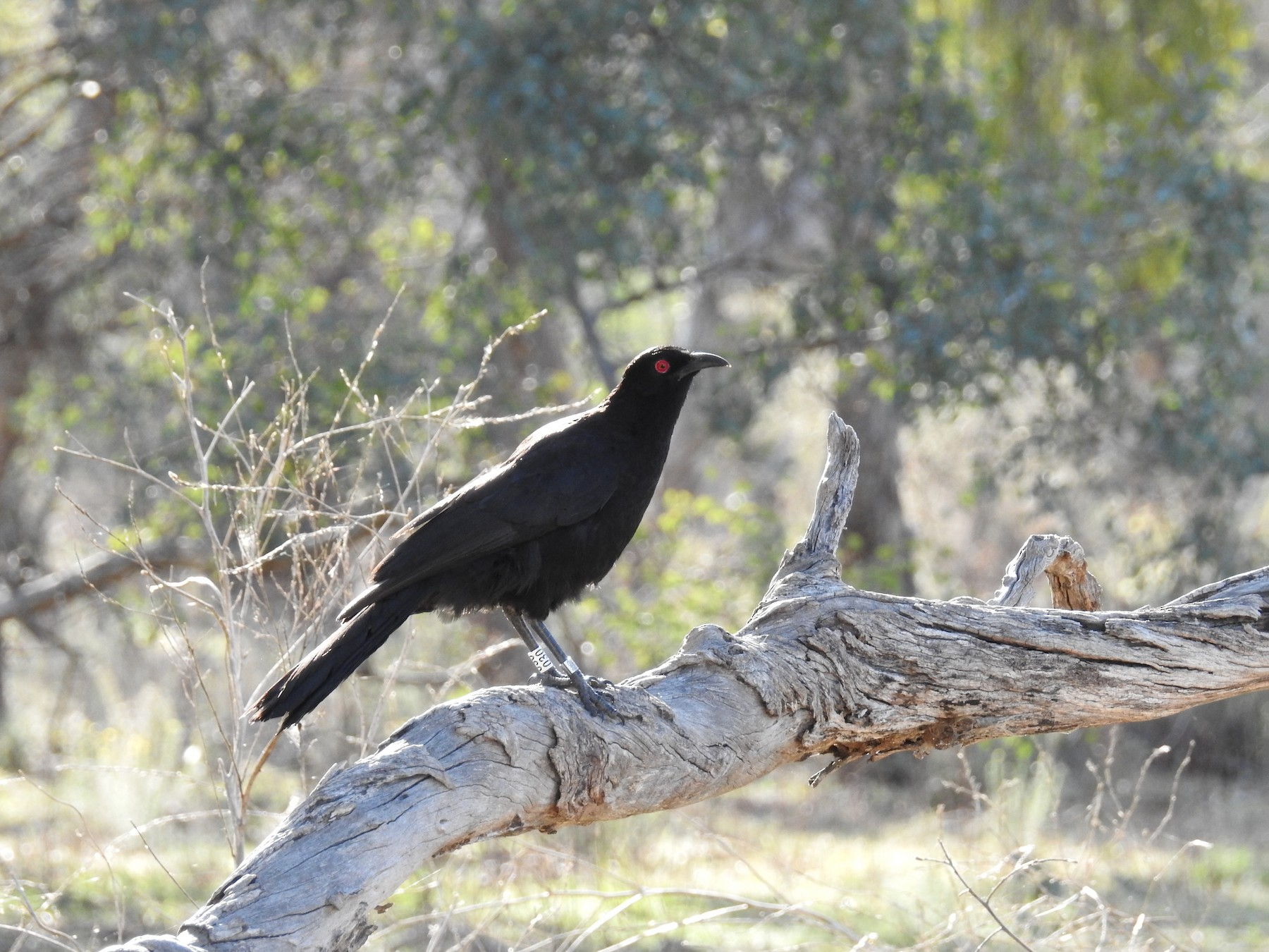 White-winged Chough - Ken Crawley