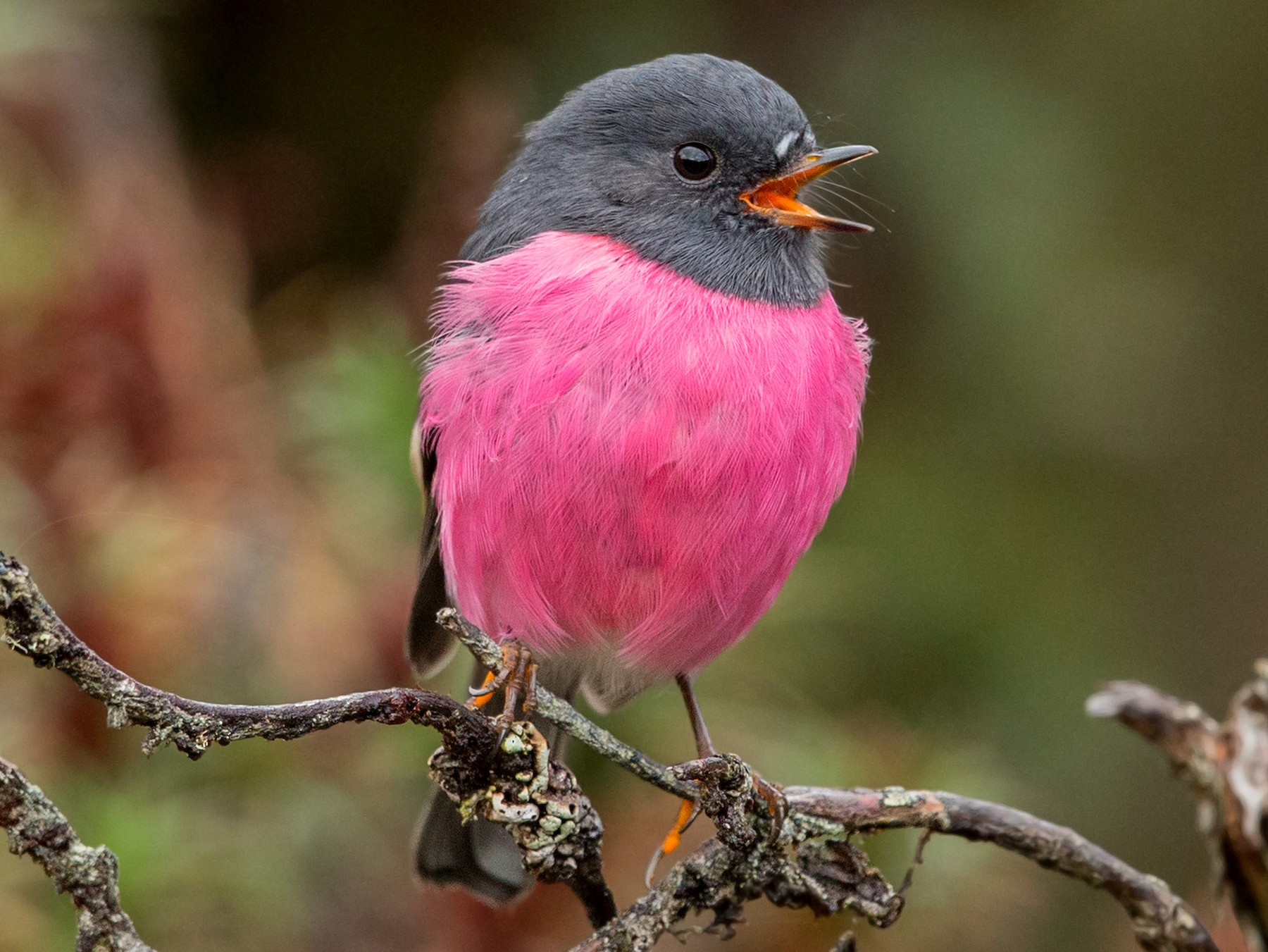 Pink Robin - David Irving