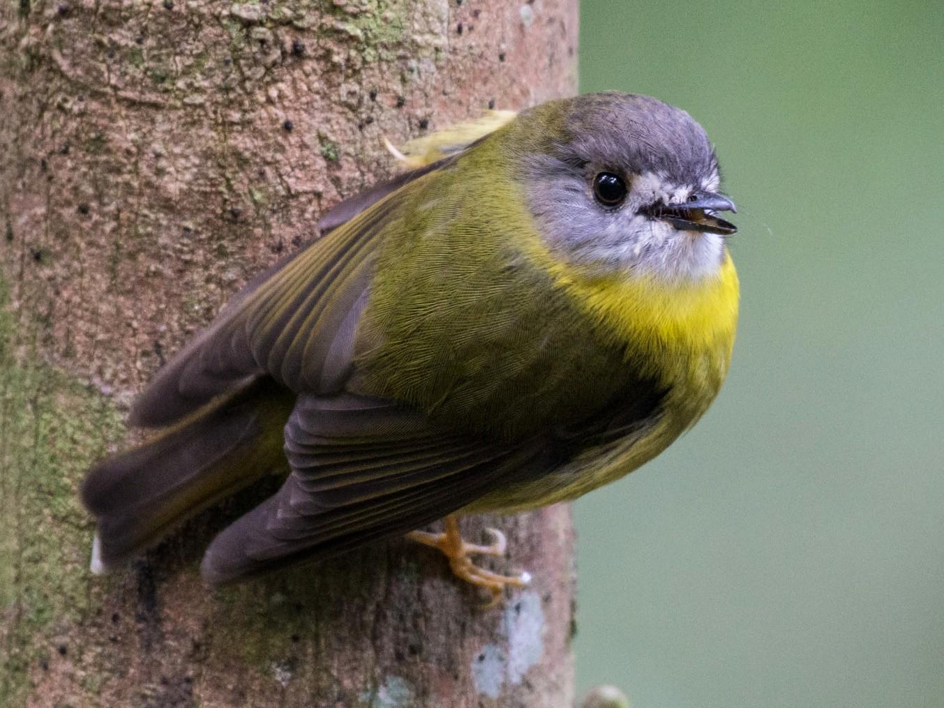 Pale-yellow Robin - Delia Walker