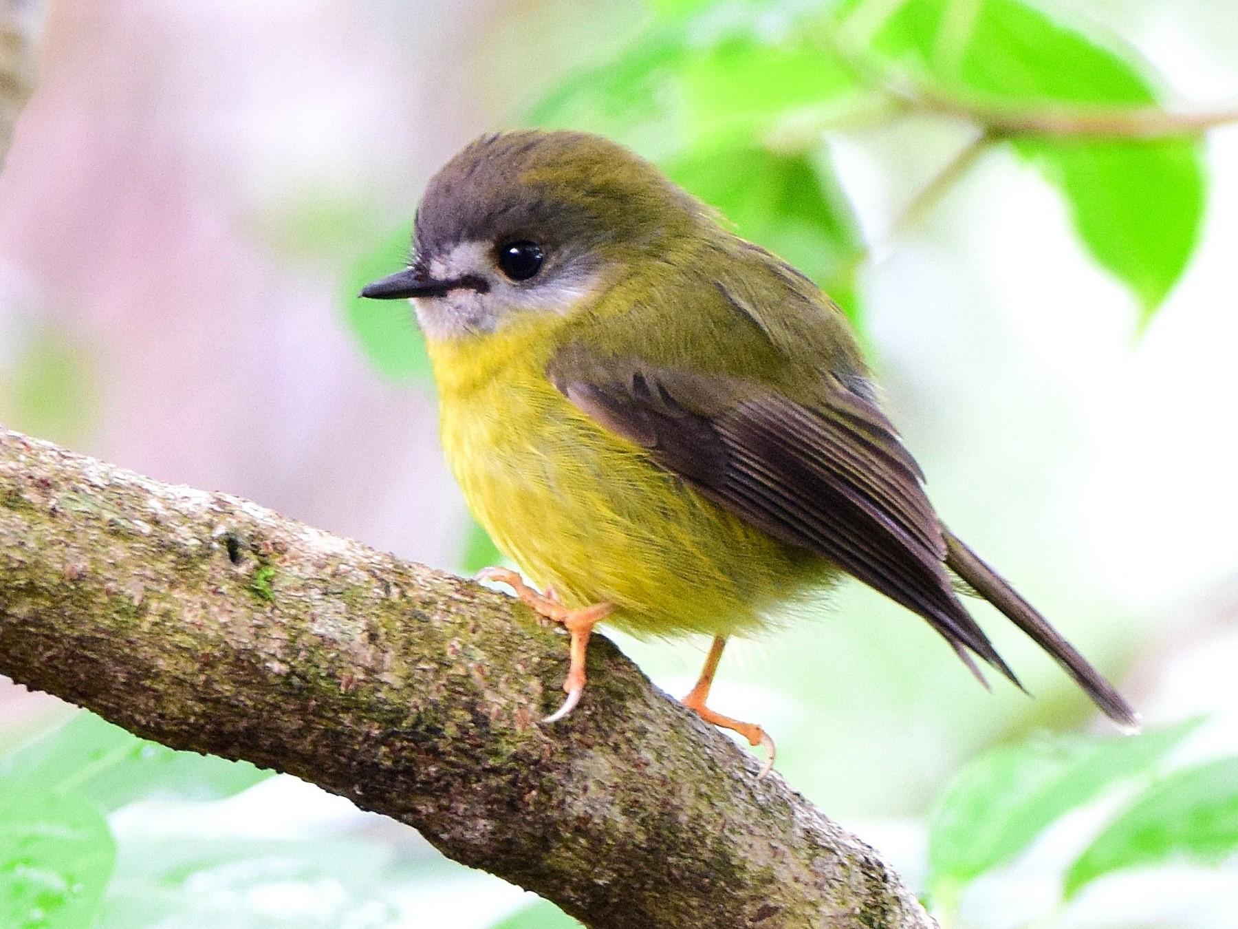 Pale-yellow Robin - Chris Wills