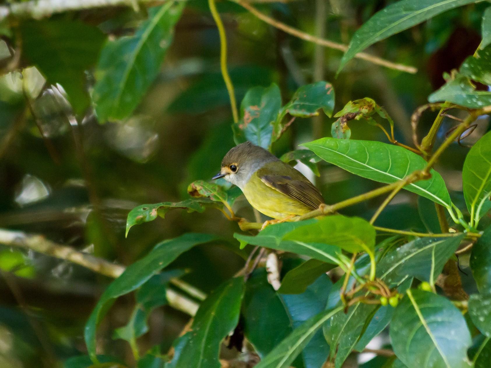Pale-yellow Robin - Graham Possingham