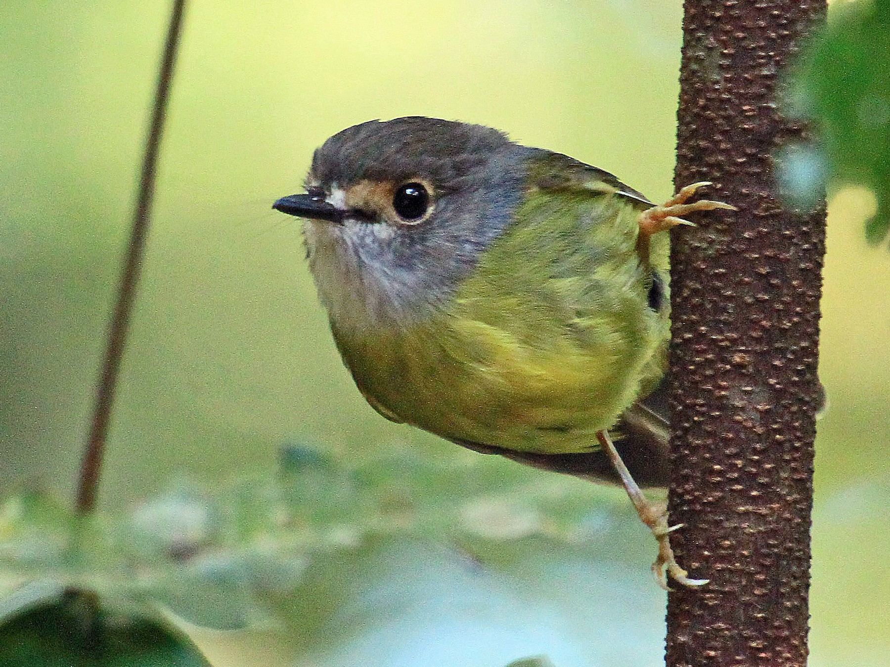 Pale-yellow Robin - Carl Poldrack