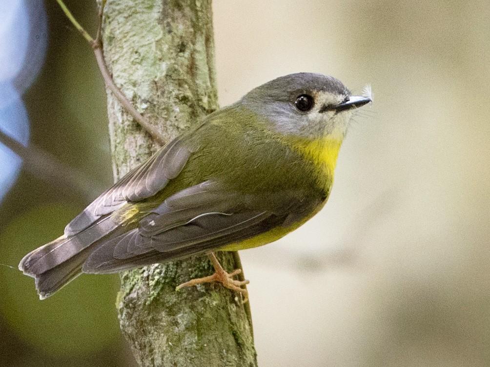 Pale-yellow Robin - Ian Davies