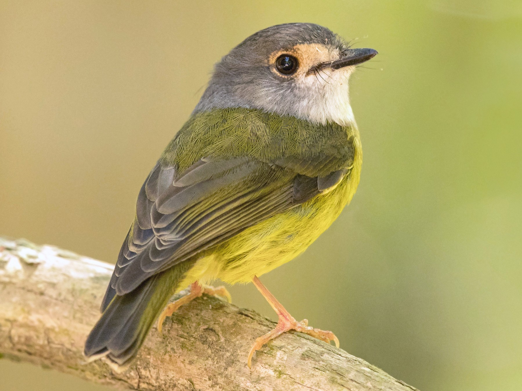 Pale-yellow Robin - David Irving