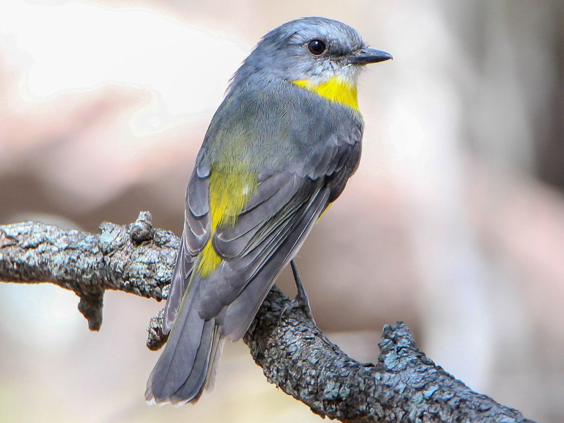 Eastern Yellow Robin - Sandra Gallienne