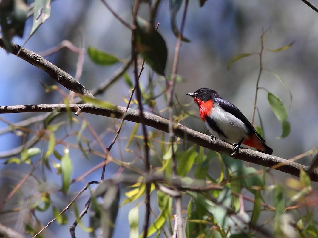 Mistletoebird - Leigh Pieterse