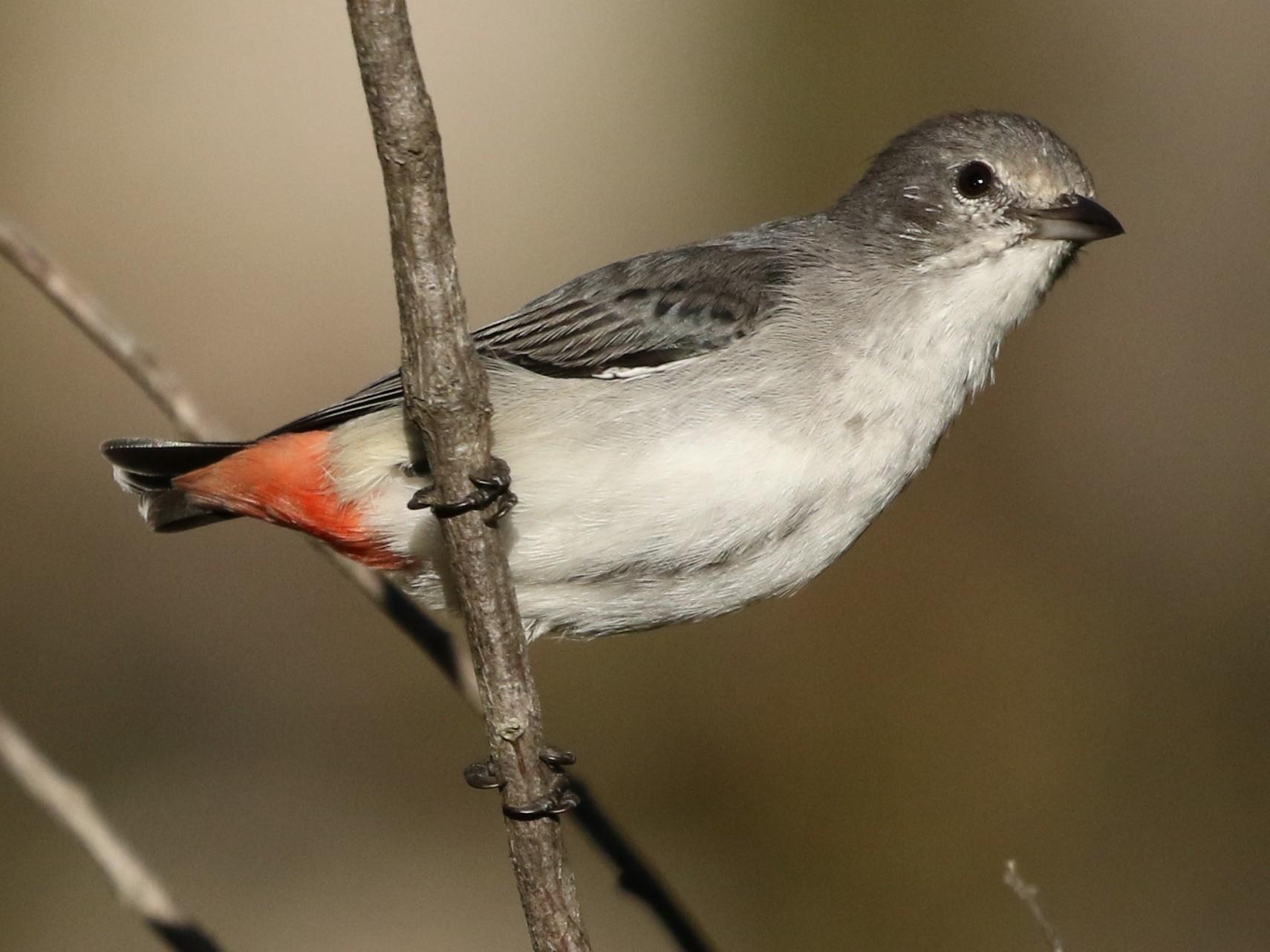 Mistletoebird - David Ongley