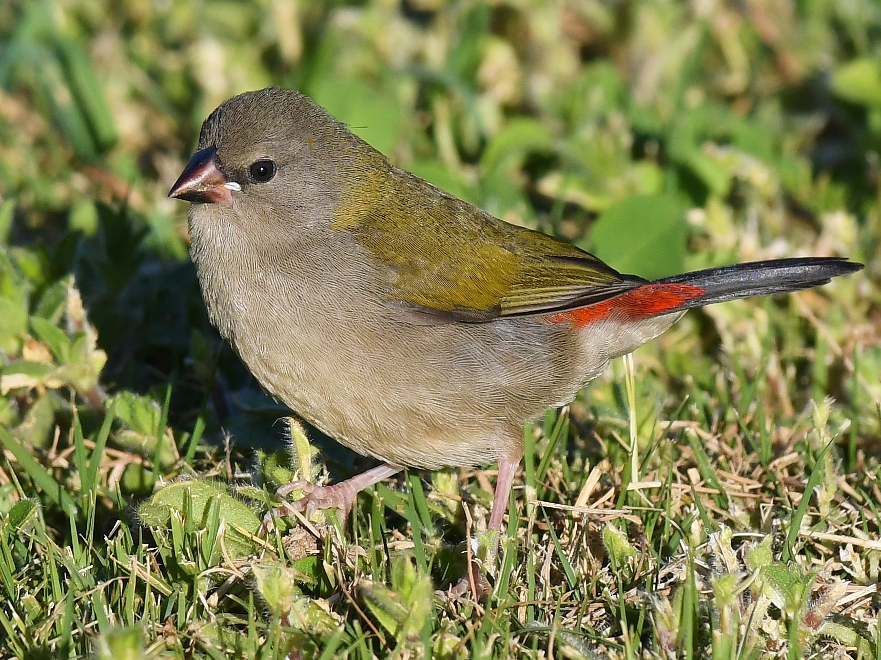 Red-browed Firetail - Terence Alexander