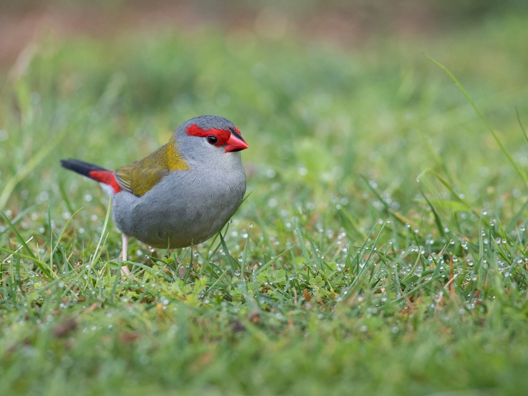 Red-browed Firetail - Ian Davies