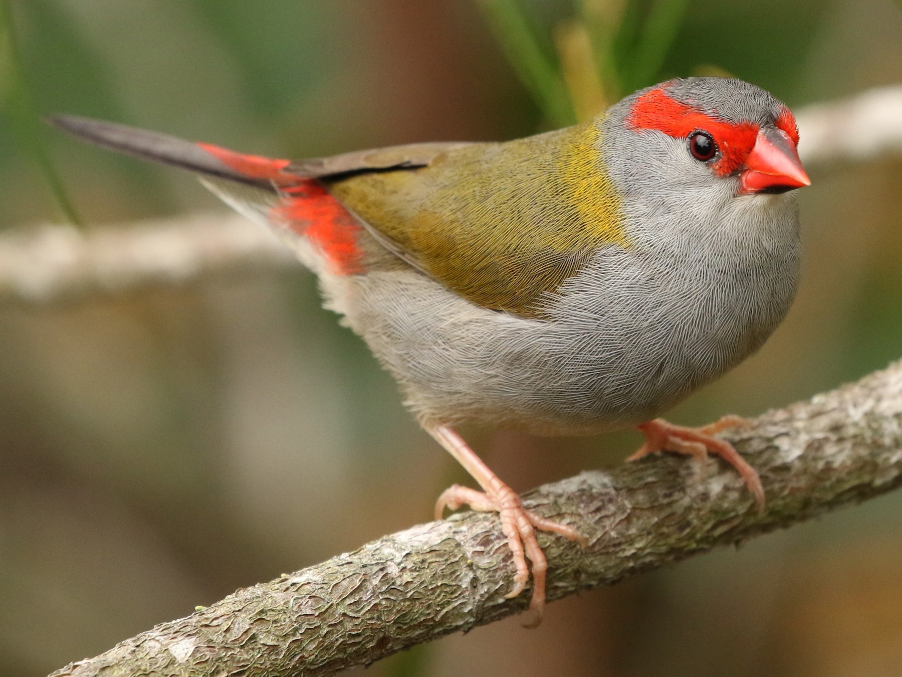 Red-browed Firetail - David Ongley