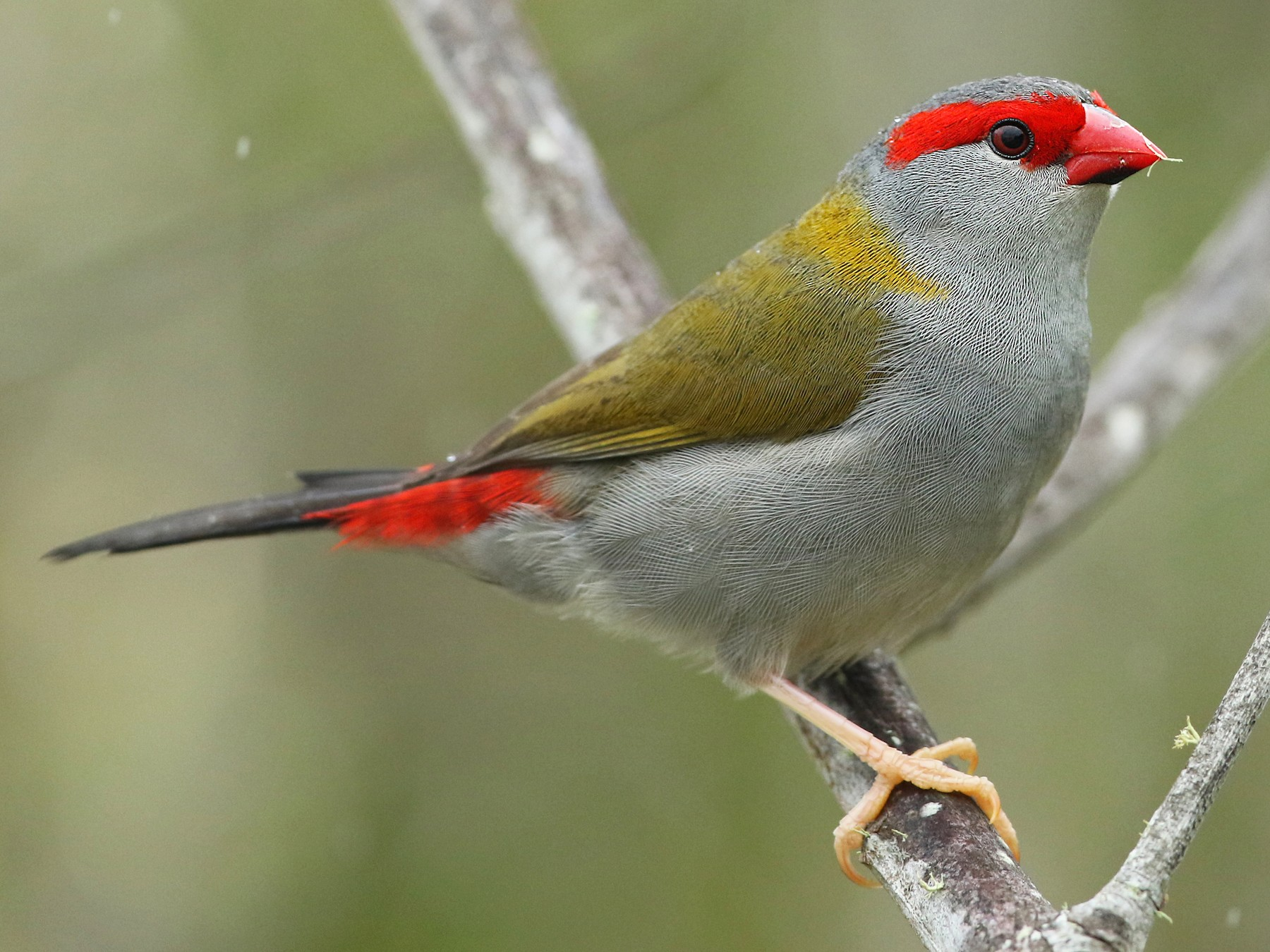 Red-browed Firetail - Luke Seitz