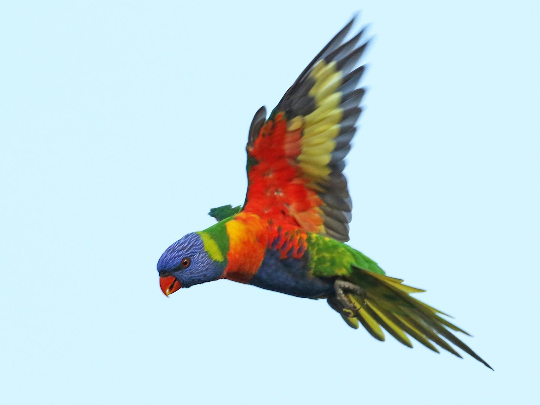rainbow lorikeet sp. - Luke Seitz