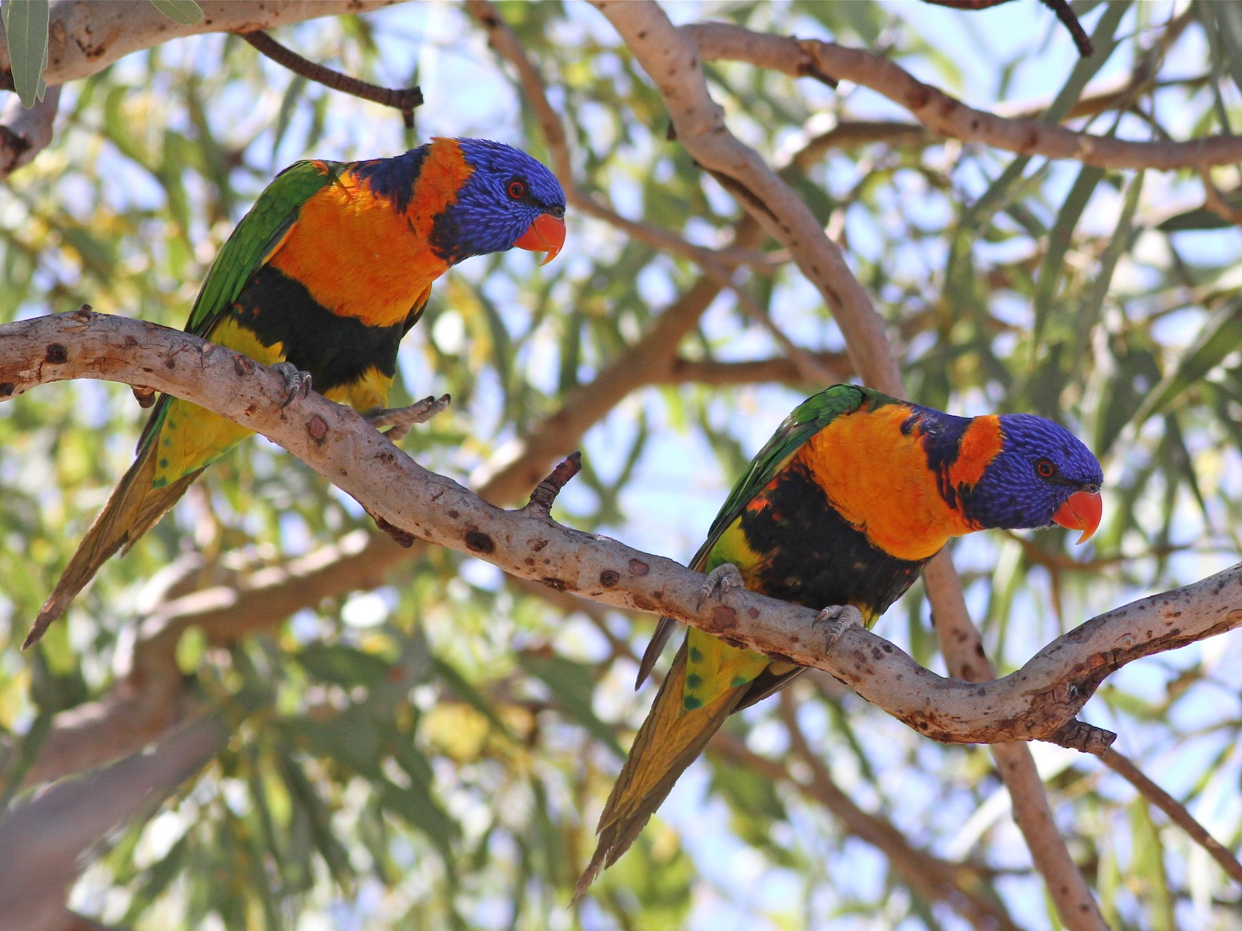 rainbow lorikeet sp. - Chris Wiley