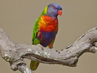 - Rainbow Lorikeet