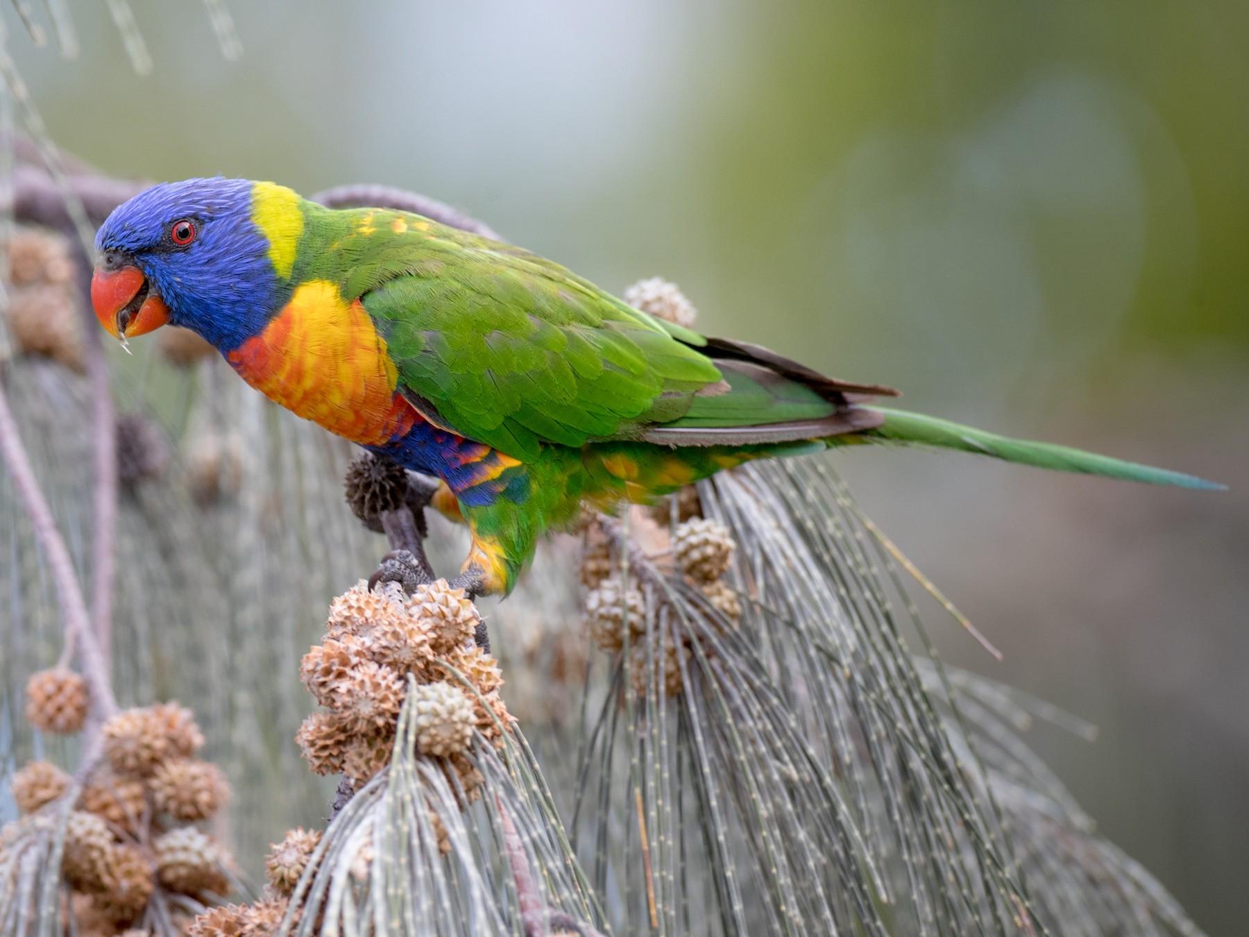 rainbow lorikeet sp. - Ian Davies