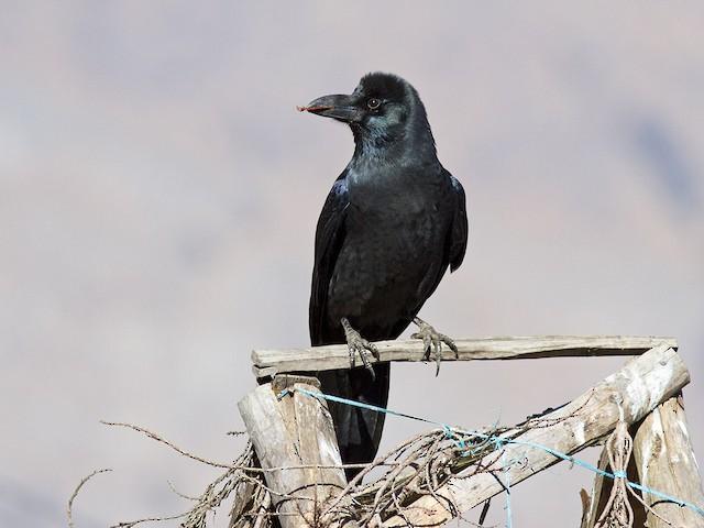 ©Frode Falkenberg - Large-billed Crow