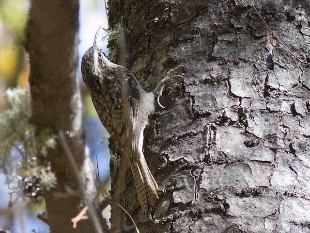 ©Frode Falkenberg - Bar-tailed Treecreeper
