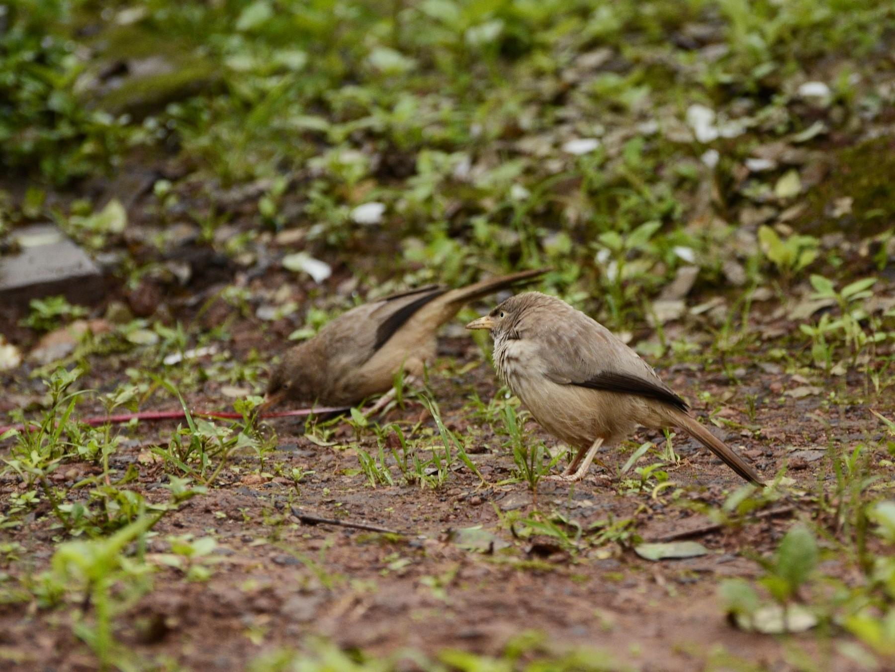 Jungle Babbler - Panchapakesan Jeganathan