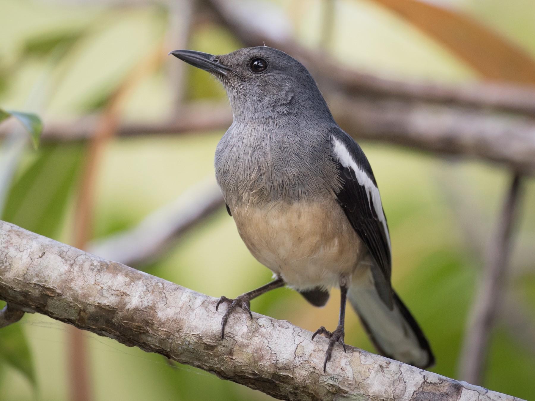 Oriental Magpie-Robin - Ian Davies