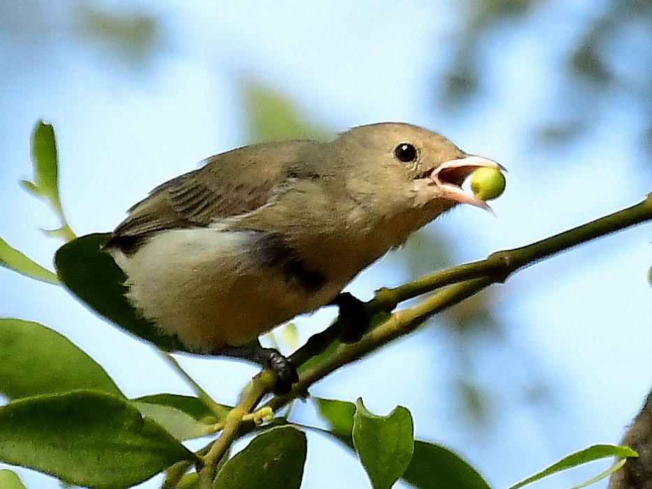 Pale-billed Flowerpecker - Anoop CR