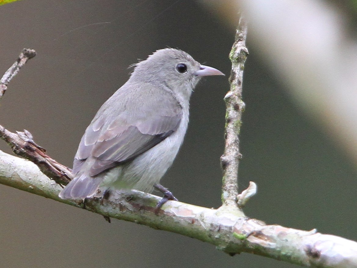 Pale-billed Flowerpecker - Christoph Moning