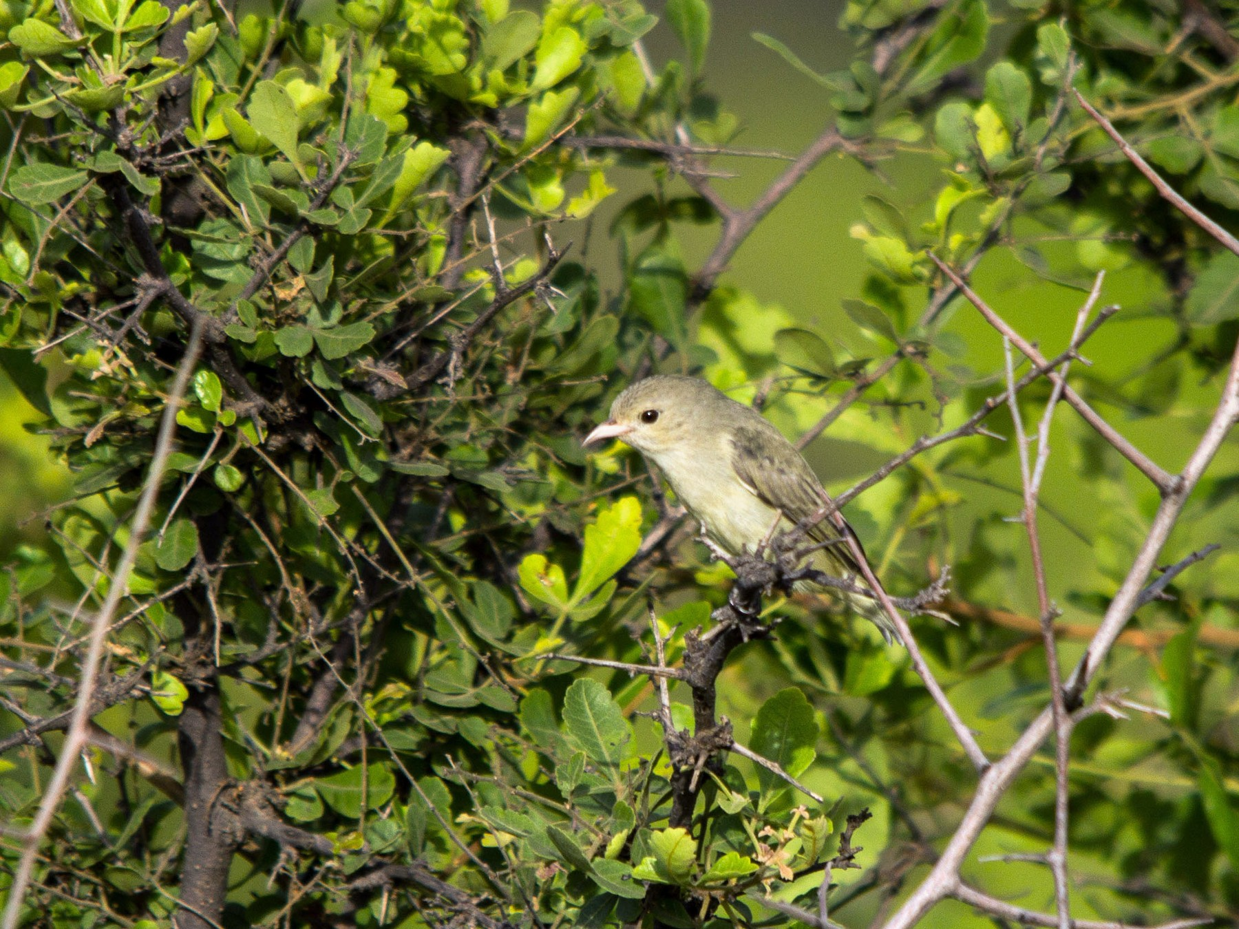 Pale-billed Flowerpecker - Abhijeet  Avate